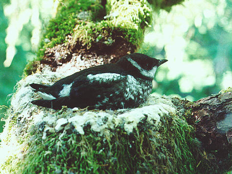 Adult marbled murrelet in old growth forest nest. Steve Hampton/CDFW