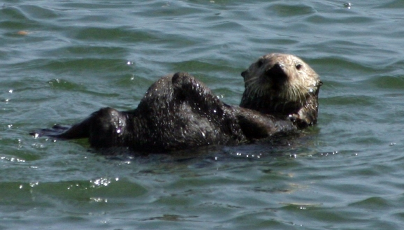 Sea otter in California waters. CDFW photo