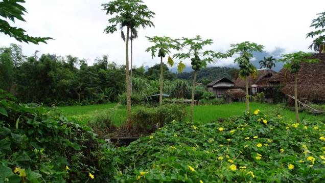 Lam Dong village near Ha Giang, consisting entirely of wooden, thatched houses, seen through papaya trees, yellow flowers and a small paddy field